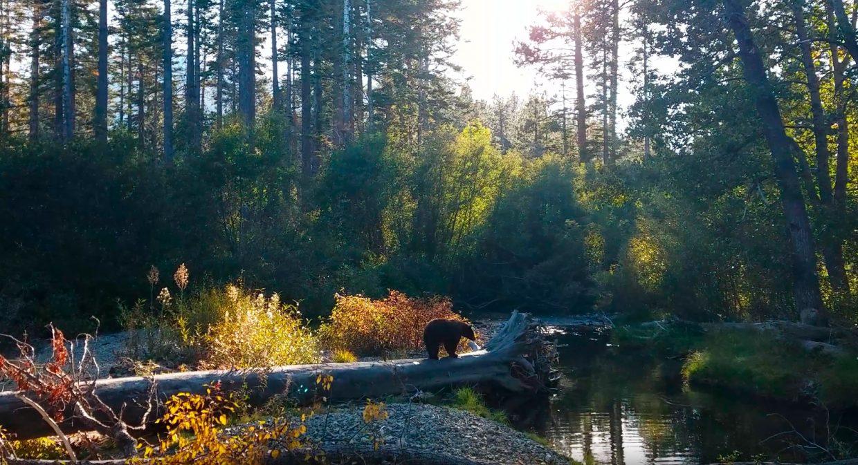 Kokanee Salmon Bear